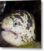 A Chain Moray Eel Peers Out Of Its Hole Metal Print
