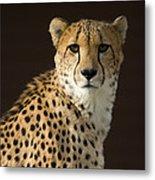 A Cheetah Acinonyx Jubatus Urinates Metal Print