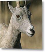 A Close View Of A Bighorn Sheep Ewe Metal Print