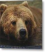A Close View Of A Captive Kodiak Bear Metal Print