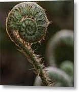 A Close View Of A Fiddlehead Fern Frond Metal Print
