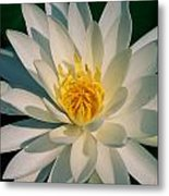 A Close View Of A White Fragrant Water Metal Print