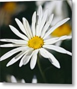 A Close View Of A Wild Daisy Metal Print