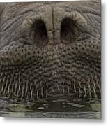A Close View Of An Atlantic Walrus Metal Print by Ralph Lee Hopkins