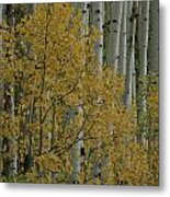 A Close View Of Quaking Aspen Trees Metal Print