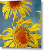 A Close View Of Two Daisies Metal Print