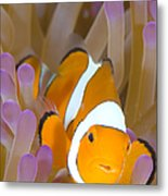 A Clown Anemonefish In A Purple Metal Print