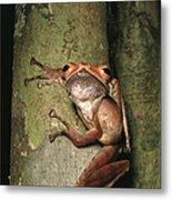 A Collets Tree Frog Rhacophorus Colleti Metal Print