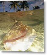 A Conch Shell Rests Beneath The Clear Metal Print