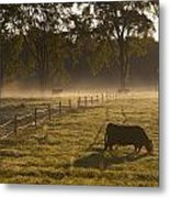 A Cow Grazing In A Field In The Early Metal Print
