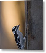 A Downy Woodpecker, Picoides Pubescens Metal Print