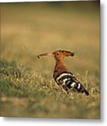 A Eurasian Hoopoe With An Insect Metal Print