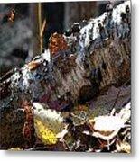 A Fallen Birch Still Claims Its Beauty Metal Print