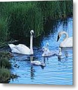 A Family Of Trumpeter Swans Swims Metal Print