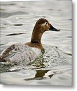 A Female Canvasback Duck  Metal Print