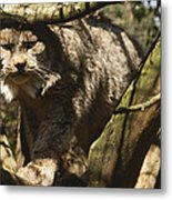 A Female Northern Lynx With Her Thick Metal Print
