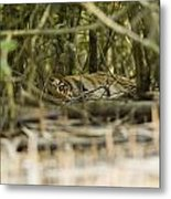 A Female Tiger Rests In The Undergrowth Metal Print