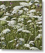 A Field Of Queen Annes Lace Metal Print