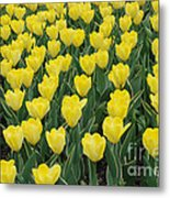 A Field Of Yellow Tulips In Spring Metal Print