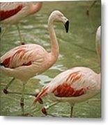 A Flock Of Chilean Flamingos Wading Metal Print