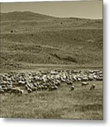 A Flock Of Sheep 4 Metal Print by Philip Tolok