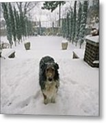 A Forlorn And Snow-dusted Sheltie Metal Print