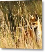 A Fox In A Field Metal Print