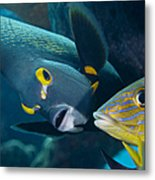 A French Angelfish Swims Up Close Metal Print
