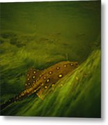 A Freshwater Stingray Swims In A Meadow Metal Print