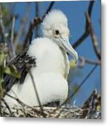 A Frigatebird Sitting In A Nest Metal Print
