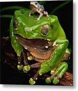 A Frog Phylomedusa Bicolor Perched Metal Print