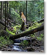 A Giant Cedar Waxwing On Mt Spokane Metal Print