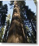 A Giant Redwood In The Mariposa Grove Metal Print