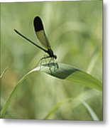 A Graceful Dragonfly Sitting On A Blade Metal Print