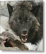 A Gray Wolf, Canis Lupus, Growls Metal Print
