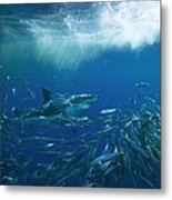 A Great White Shark Swims Close Metal Print