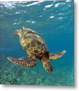 A Green Sea Turtle Diving In Clear Water Metal Print