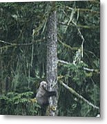 A Grizzly Bear Clings To A Fir Tree Metal Print