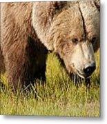 A Grizzly Bear Ursus Arctos Horribilis Metal Print