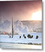 A Group Of Bison Feeding In The Snow Metal Print by Drew Rush