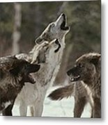 A Group Of Gray Wolves, Canis Lupus Metal Print