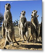 A Group Of Meerkats Standing Guard Metal Print