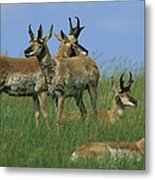 A Group Of Pronghorns In Buffalo Gap Metal Print