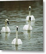 A Group Of Swans Swimming On A County Metal Print