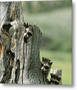 A Group Of Young Racoons Peer Metal Print