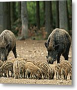 A Group Of Young Wild Boars Nose Metal Print