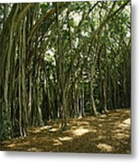 A Grove Of Banyan Trees Send Airborn Metal Print by Paul Damien