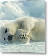 A Harp Seal Pup Lies On Its Side Metal Print