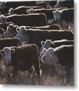 A Herd Of Cattle On The Wyoming Range Metal Print