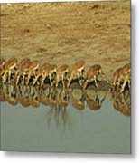 A Herd Of Impala Drinking At A Watering Metal Print